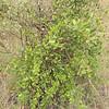 Carissa lanceolata