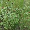 Breynia oblingifolia