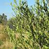Citrus glauca