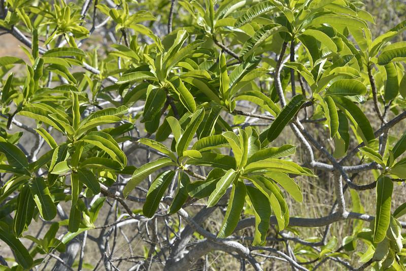 Cerbera dumicola at Moranbah