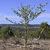 Psydrax oleifolia