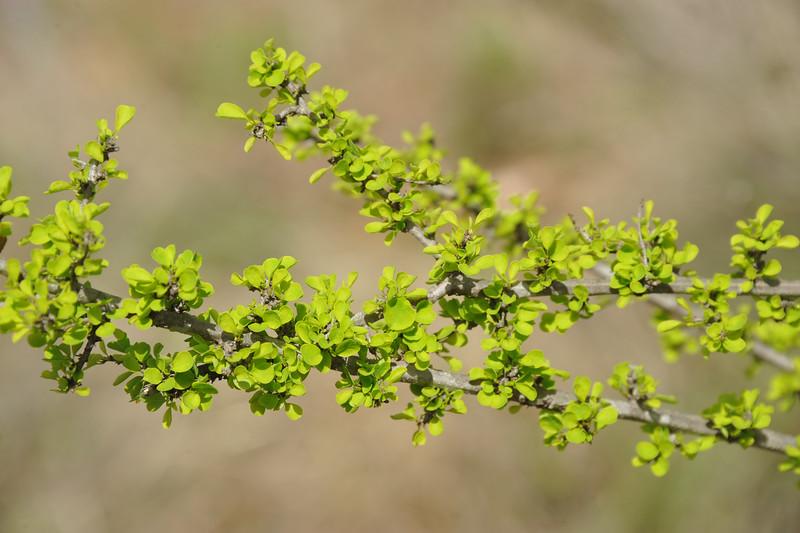 Pittosporum spinescens