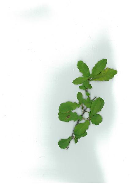 Alectryon pubescens