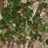 Pogonolobus reticulatus