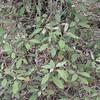 Croton insularis