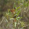 Dodonaea spathulata