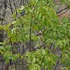 Burdekin plum