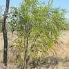 Melaleuca sp.