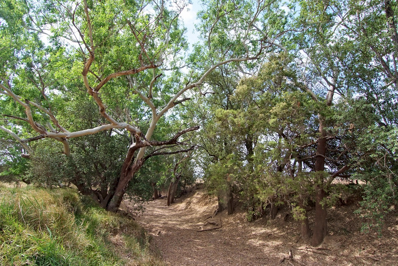 Eucalyptus raveretiana