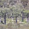 Brachychiton rupestris