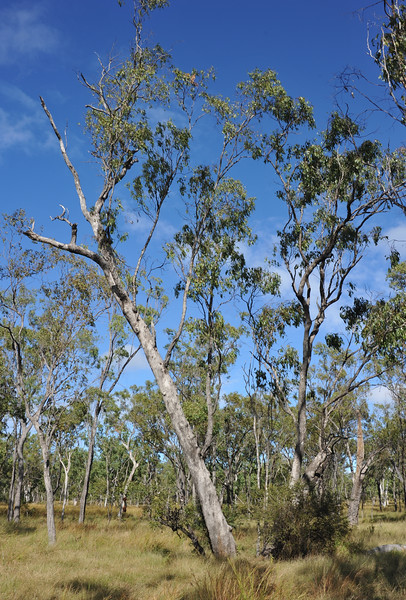 Eucalyptus brownii