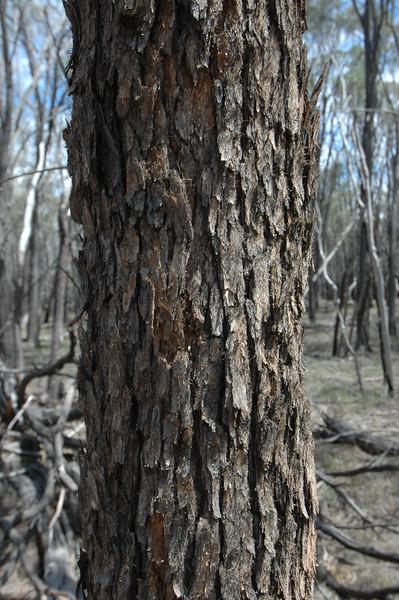 Brown bloodwood