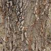 Bat's wing coral tree