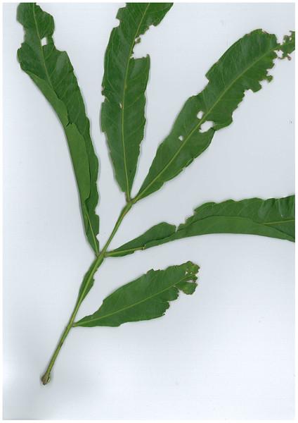 Atalaya salicifolia