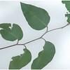 Eucalyptus firbosa nubila