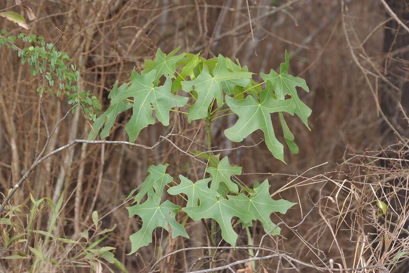 Broad-leaved bottle tree
