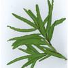 Denhamia oleaster