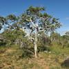 Melaleuca tamariscina