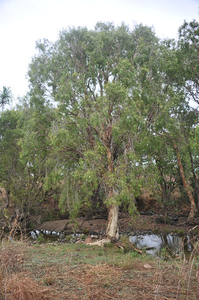 Melaleuca fluviatilis