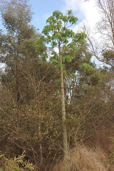 Broad leaf bottle tree