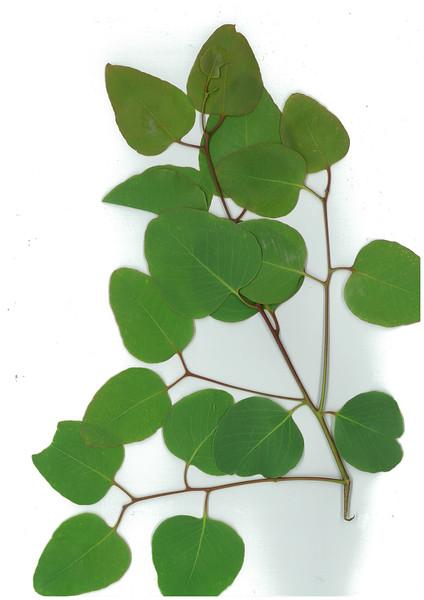 Eucalyptus melanophloia X E. populnea