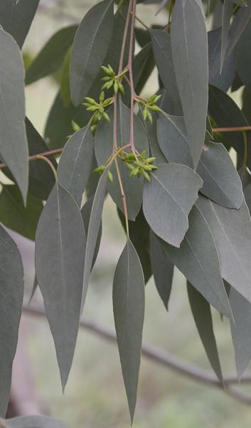 Eucalyptus chloroclada