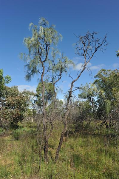 Botlace oak