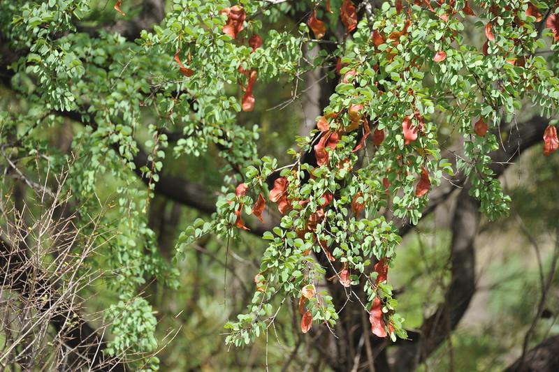 Lysiphyllum hookeri