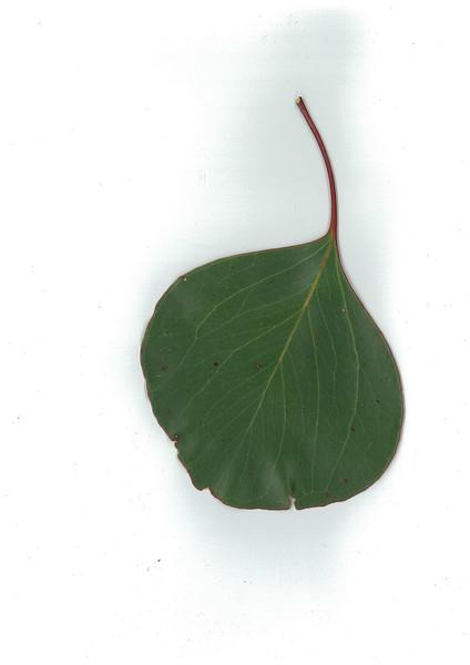Eucalyptus populnea