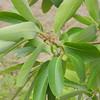 Lophostemon grandiflorus