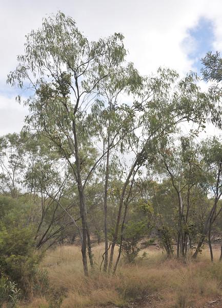 Queensland peppermint