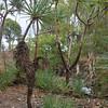 Pandanus spiralis