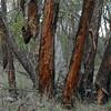 Eucalyptus tenuipes