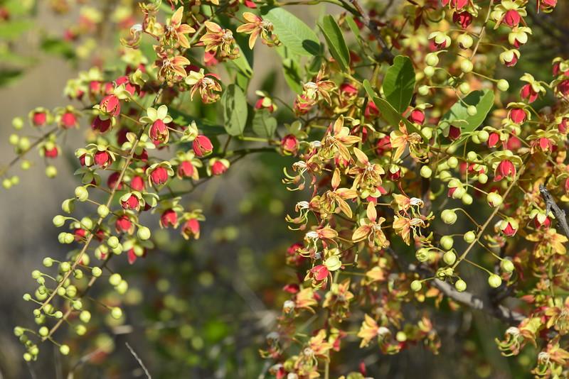 Cassia brewsteri