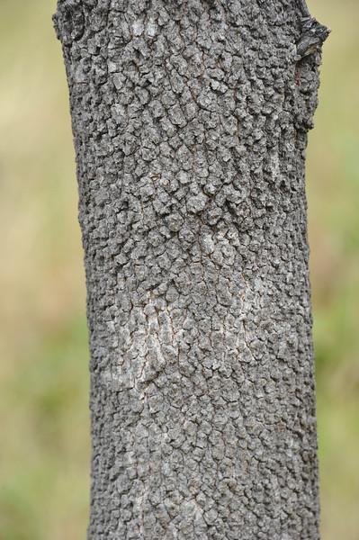 Desert rosewood