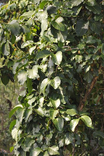 Leichhhardt tree