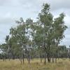 Eucalyptus coolabah