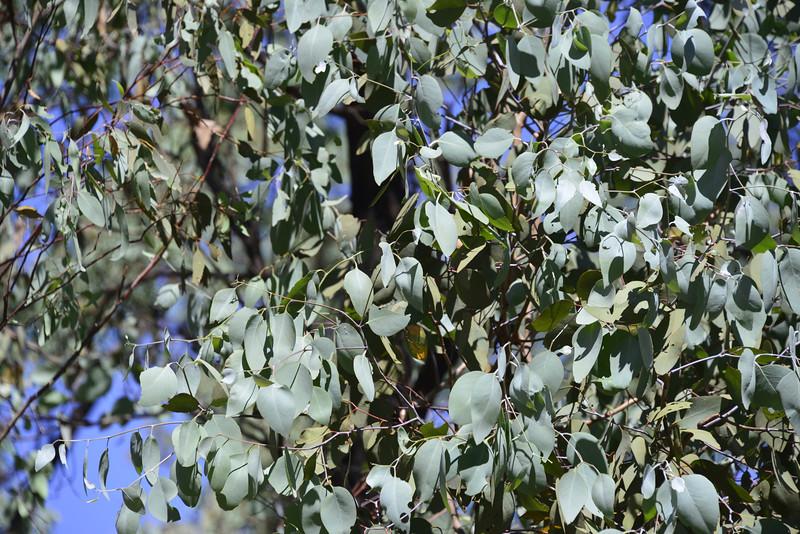 Blue-leaved ironbark