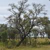 Lysiphyllum