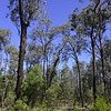 Blue-leaved ironbark