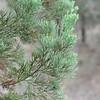 White cypress