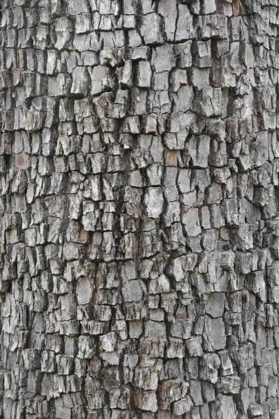 Moreton Bay ash