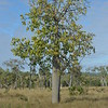 Broad-leaf bottle tree