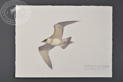 """Arctic skua near Midtöya, Svalbard 