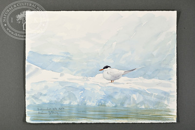 "Arctic tern at Bellsund | 5.9.2017 |  ""I want to convey what I see with immediacy and simplicity to make the viewer feel present on the Arctic scene."" 