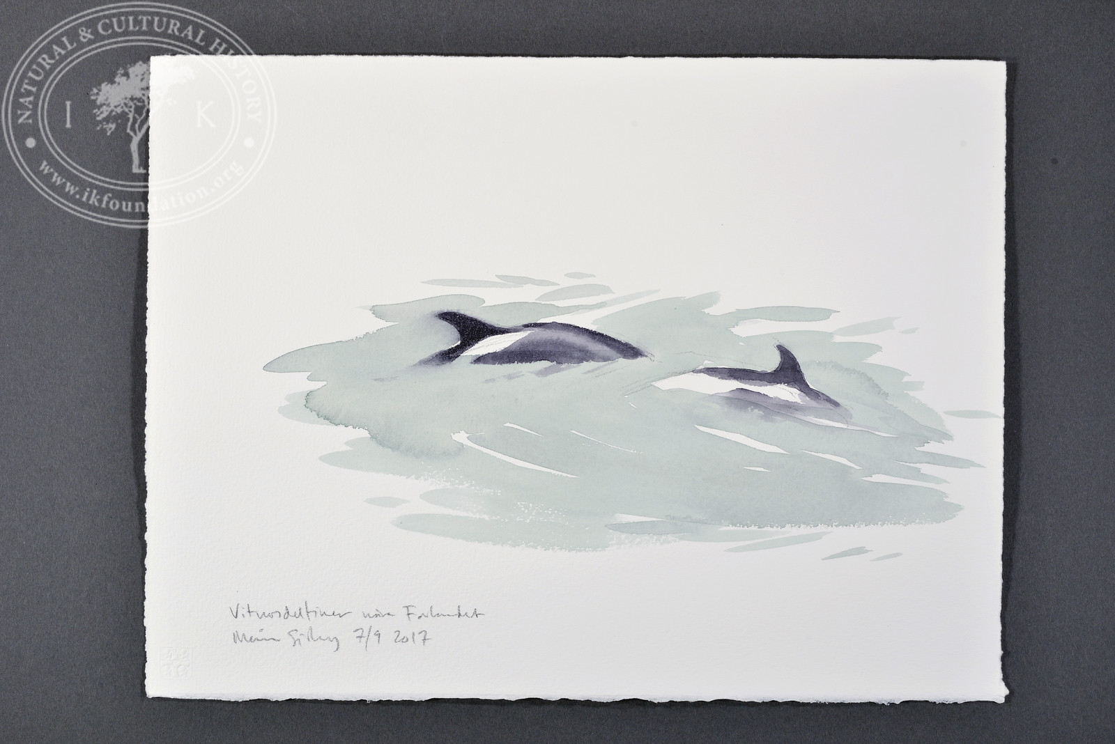 """White-beaked dolphins near Forlandet, Svalbard 