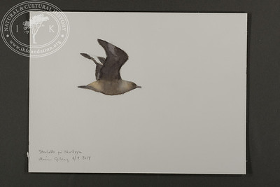 """Great skua aloft, Nordøya 
