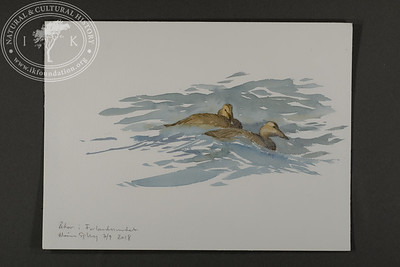 """Female eiders bobbing on the waves of the Forland Strait 