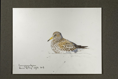 "Purple sandpiper at the Longyear River mouth | 22.9.2019 | ""I want to convey what I see with immediacy and simplicity to make the viewer feel present on the Arctic scene."" 