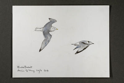 "Adult and juvenile kittiwake at Endeflaket | 24.9.2019 | ""I want to convey what I see with immediacy and simplicity to make the viewer feel present on the Arctic scene."" 